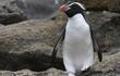 Loài chim cánh cụt dành 3 tiếng mỗi ngày chỉ để... tắm