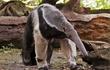 Giải mã chiếc lưỡi dài và vẻ bề ngoài kỳ dị của gấu ăn kiến