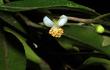 Cận cảnh hoa trà my tí hon siêu đẹp mới phát hiện ở Việt Nam