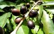 Loài cà phê kỳ lạ có quả màu đen và hương vị hảo hạng