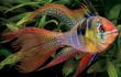 Ngỡ ngàng những loài cá cảnh đẹp, mang ý nghĩa phong thủy