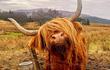 """Tận ngắm loài bò lạ, có bộ tóc """"lãng tử"""" độc nhất thế giới"""