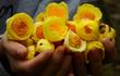 Cận cảnh loài trà hoa quý hiếm chống ung thư nở tại VQG Cát Tiên
