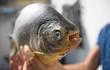 Phát hiện loài cá răng giống hệt người, thích ăn tinh hoàn