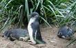 Sai lầm khiến hàng nghìn chim cánh cụt bị thảm sát bởi quỷ Tasmania