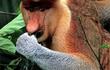 """Chiếc mũi dài """"siêu dị"""" không đụng hàng của loài khỉ lạ"""