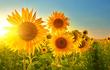 Lý do hoa hướng dương được trồng sau thảm họa hạt nhân