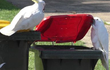 Sự thông minh loài vẹt lên tầm mới, học nhau cạy nắp thùng rác