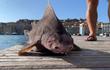 """Phì cười """"quái ngư"""" tấu hài nhất đại dương: Thân cá mập, mặt giống heo!"""