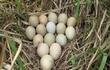Mang trứng lạ về ấp, vỡ oà sung sướng vì trúng mánh lớn