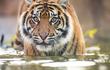 Hổ Sumatra chết ở Indonesia do dính bẫy: Quý hiếm sao?