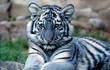Huyền bí loài hổ xanh lộ diện ở châu Á: Việt Nam cũng có?