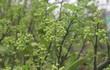 Dân Hà thành vung tiền lấy cả cây lẫn chậu hoa bưởi