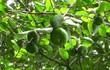 Trái bần xuất khẩu sang nước ngoài bán giá đắt