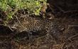 Video: Báo đốm lao mình xuống sông bắt cá sấu Caiman