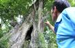 """Lạ kỳ cây thị """"ăn thề"""" 700 trăm năm rỗng gốc ở Hà Tĩnh"""