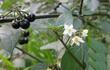 Lá giống ớt, quả giống nho, loại rau dại được săn tìm vì điều kỳ lạ