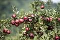 Tận mắt loại táo đen của Mỹ phải để vài tháng ăn mới ngon