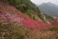 """Hé lộ sự thật về """"đào rừng"""" - cây tự nhiên siêu hiếm, toàn hàng nhà trồng trên đồi"""