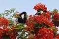 Ảnh động vật: Khỉ áo quý hiểm thưởng thức hoa phượng đỏ thắm