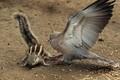 Chim bồ câu quyết chiến sóc chuột, sư tử nằm tắm nắng