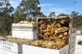Loại mật ong thu hoạch bằng máy bay, giá cả chục triệu/kg