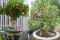 Độc đáo mận trĩu quả lên chậu thành bonsai đẹp mê ly