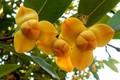 Ngắm loài hoa độc đáo được chọn làm biểu tượng của Campuchia
