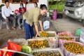 Vựa hồng lớn nhất Nghệ An vào mùa thu hoạch
