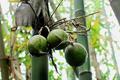 Ít người biết cây tre lại có quả vừa đẹp vừa giàu dinh dưỡng