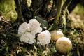 Cách trồng hoa hồng bằng khoai tây cực đơn giản lại cho hoa rực rỡ