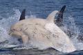 """Giải mã cực """"sốt"""" cá voi bạch tạng siêu hiếm lộ diện ở Nhật"""