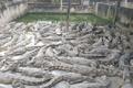 Hàng nghìn con cá sấu bị bỏ đói, dân nuôi thua lỗ hàng tỷ đồng