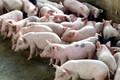 Bỏ việc ngàn USD đi nuôi lợn, ngay năm đầu thắng lớn 1,7 tỷ đồng