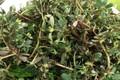 """Loài rau dại mọc đầy ở Việt Nam mang sang nước ngoài trở thành """"thần dược"""""""