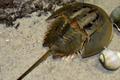 Loài hải sản đắt đỏ ở Việt Nam tiến gần đến tuyệt chủng