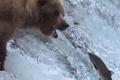 Video: Đại tiệc thịt cá hồi thịnh soạn của bầy gấu xám Bắc Mỹ