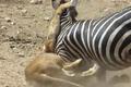"""Video: Ngựa vằn chống trả quyết liệt khiến sư tử """"ăn quả đắng"""""""