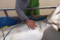 Video: Hai vợ chồng bất ngờ khi kéo lên một con cá mập lớn