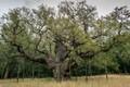 Bí mật cây sồi 1.000 tuổi nổi tiếng nhất nước Anh