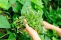 Loại rau này mọc hoang dại ở bờ bụi và các bãi đất trống.