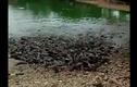 Xem đàn cá hàng trăm con lao lên cạn tìm thức ăn