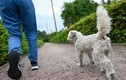 Kiếm gần 40.000 USD/năm nhờ dắt chó đi dạo