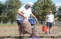 """Trồng khoai tây, """"thú vui tao nhã"""" của Tổng thống Belarus Lukashenko"""