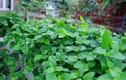 Mách chị em cách trồng rau ngót Nhật lớn siêu nhanh, non mơn mởn