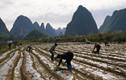 Nông dân Trung Quốc hăng say lao động sản xuất giữa đại dịch virus corona