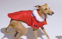 Video: Chú chó nổi tiếng nhờ luôn mặc đồ sành điệu