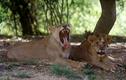 Hãi hùng bé gái 14 tuổi bị sư tử vồ chết
