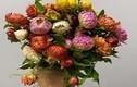 Hoa cúc lạ chết khô vẫn không tàn