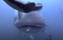 Video: Nhiếp ảnh gia đụng độ cá mập voi khổng lồ